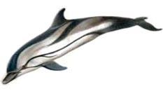 Striped dolphin (Stenella coeruleoalba)
